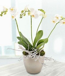 White Orchid*